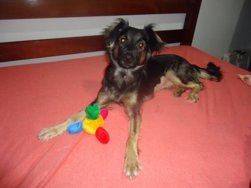 Bel, ainda como lar temporário na casa de Sonia, com direito a brinquedinho e uma cama quentinha!