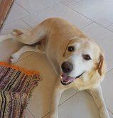 Marley Labrador PARA ADOÇÃO
